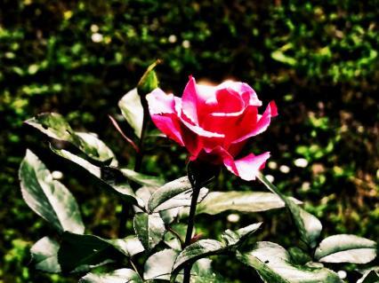Rose von Kurt Wieser